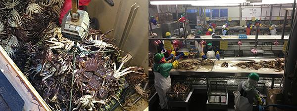 Crab processing in Alaska